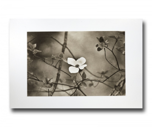 Dogwood Softness - Photogravure by Jon Lybrook