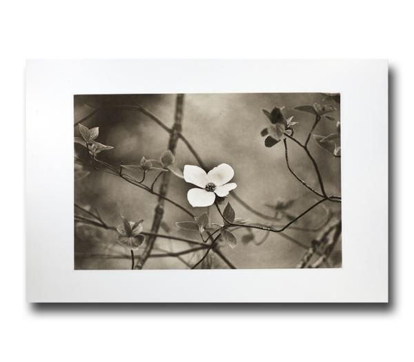 Dogwood Softness - Photogravure by Jon Lybrook